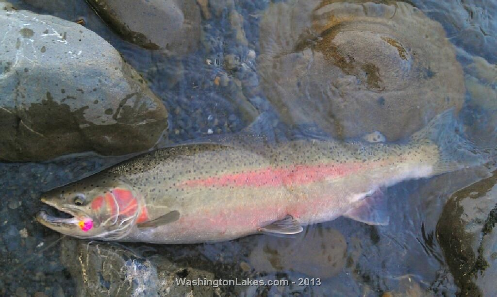 Hoh river fishing report northwest fishing reports for Nw fishing report
