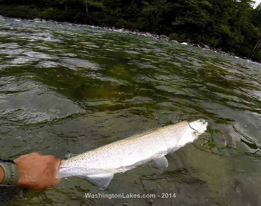 Skykomish river fishing report northwest fishing reports for Snohomish river fishing report
