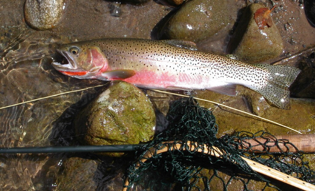 Cutthroat trout northwest fishing reports for Trout fishing spots near me